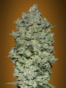 ADVANCED SEEDS - Auto BioDiesel Mass