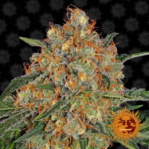BARNEY'S FARM - Orange Sherbert