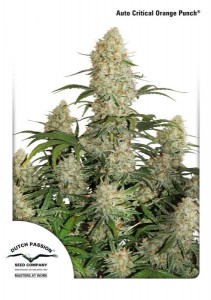 DUTCH PASSION - Auto Critical Orange Punch®