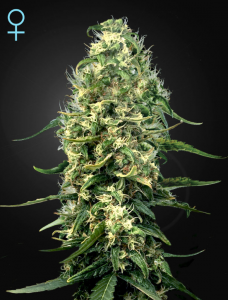 GREEN HOUSE SEEDS - Super Silver Haze CBD