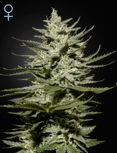 GREEN HOUSE SEEDS - The Church CBD