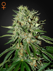 GREEN HOUSE SEEDS - The Doctor