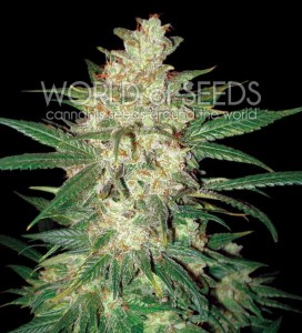 WORLD OF SEEDS - Sweet Coffee Ryder