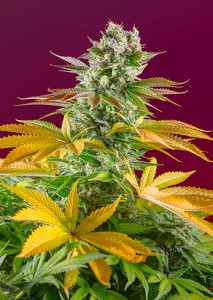 Sweet Seeds - Gorilla Girl F1 Fast Version