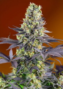 Sweet Seeds - Sweet Zenzation