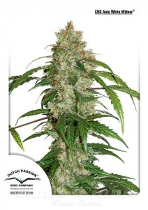 DUTCH PASSION - CBD Auto White Widow®