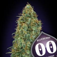 00 SEEDS BANK - Blueberry
