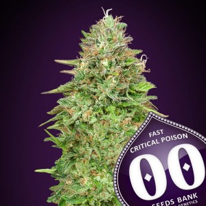 00 SEEDS BANK - Critical Poison Fast Version