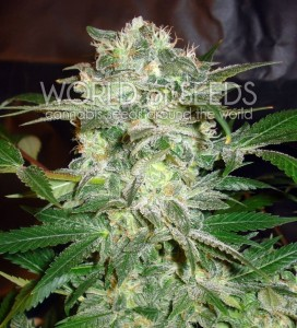 WORLD OF SEEDS - Mazar Kush