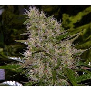 Biological Seeds - Auto Critical
