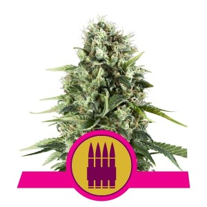 ROYAL QUEEN SEEDS - Royal AK