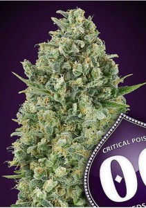 00 Seeds Bank - Critical Poison