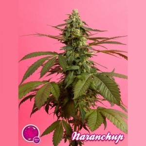 PHILOSOPHER SEEDS - Narachup