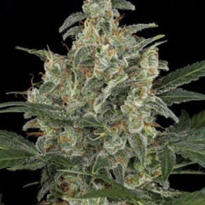 AMARANTA SEEDS - G-Power Cheese Automatic