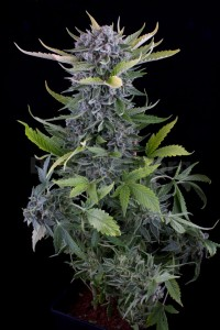 DINAFEM - White Widow Autoflowering