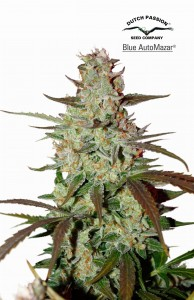 DUTCH PASSION - Blue Auto Mazar