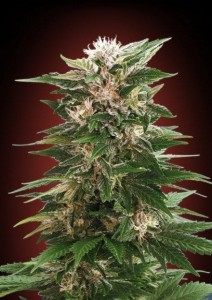 ADVANCED SEEDS - Kaya 47