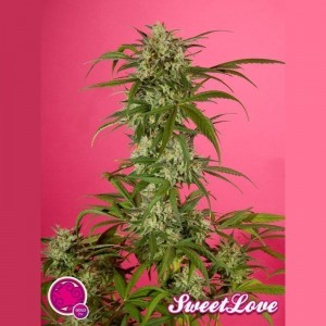 PHILOSOPHER SEEDS - SweetLove