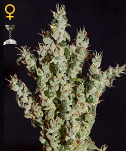 GREEN HOUSE SEEDS - NL5 Haze Mist