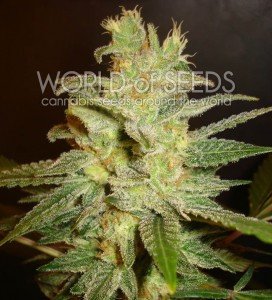 WORLD OF SEEDS - Northern Light X Big Bud