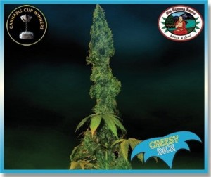BIG BUDDHA SEEDS - Cheesy Dick