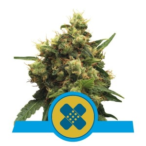 ROYAL QUEEN SEEDS - Painkiller XL