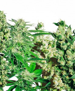 SENSI SEEDS - FEMINIZED MIX