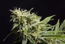 PHILOSOPHER SEEDS - Fruity Jack