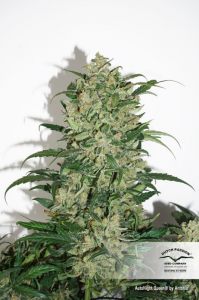 DUTCH PASSION - Auto Night Queen®