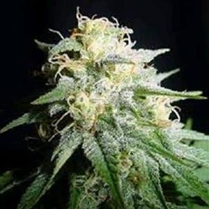 Biological Seeds - Auto White Widow