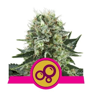 ROYAL QUEEN SEEDS - Bubble Kush