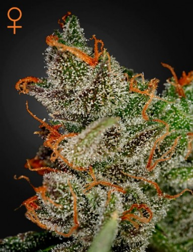 King's Kush (Feminised) by Green House Seed Company Amsterdam.png